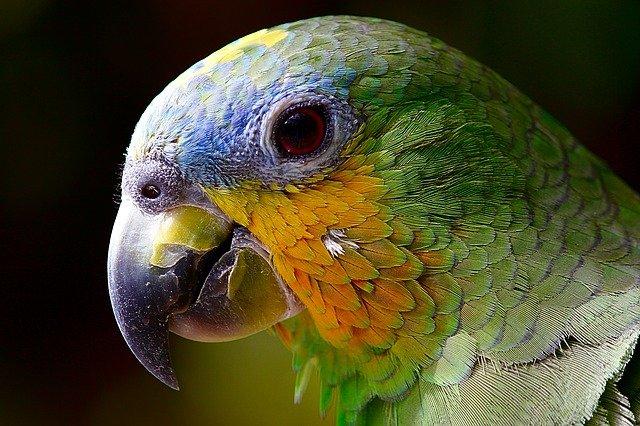 karma dla papug falistych